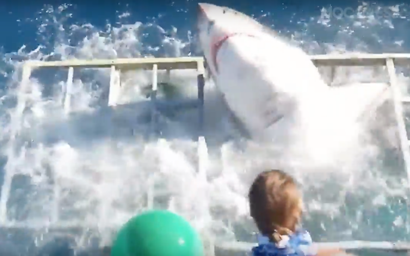 great-white-shark-breaks-into-divers-cage
