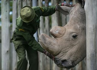 A caregiver calms Sudan, the last known male of the northern white rhinoceros subspecies, on December 5, 2016, at the Ol Pejeta conservancy in Laikipia County -- at the foot of Mount Kenya -- that is home to the planet's last-three northern white rhinoceros. According to the International Union for Conservation of Nature (IUCN), at the African Black market, rhino horn sells for up to 60,000 USD (57,000 euros) per kilogram -- more than gold or cocaine -- and in the last eight years alone roughly a quarter of the world population has been killed in South Africa, home to 80 percent of the remaining animals.