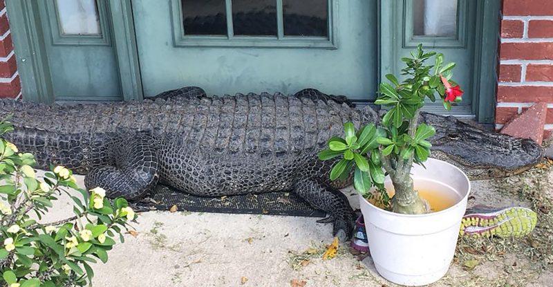 Crocodile outside Poydras Louisiana home