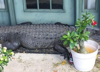 Crocodile outside Poydras Louisiana home