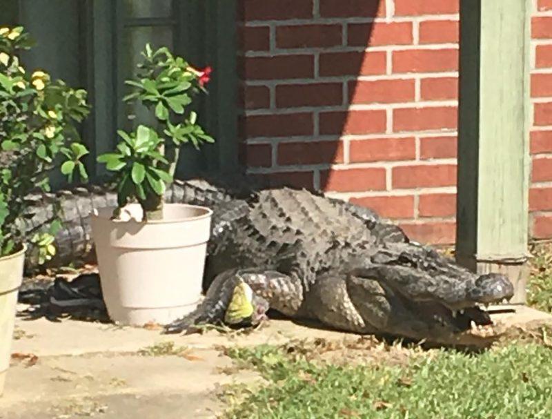 Crocodile outside Louisiana home