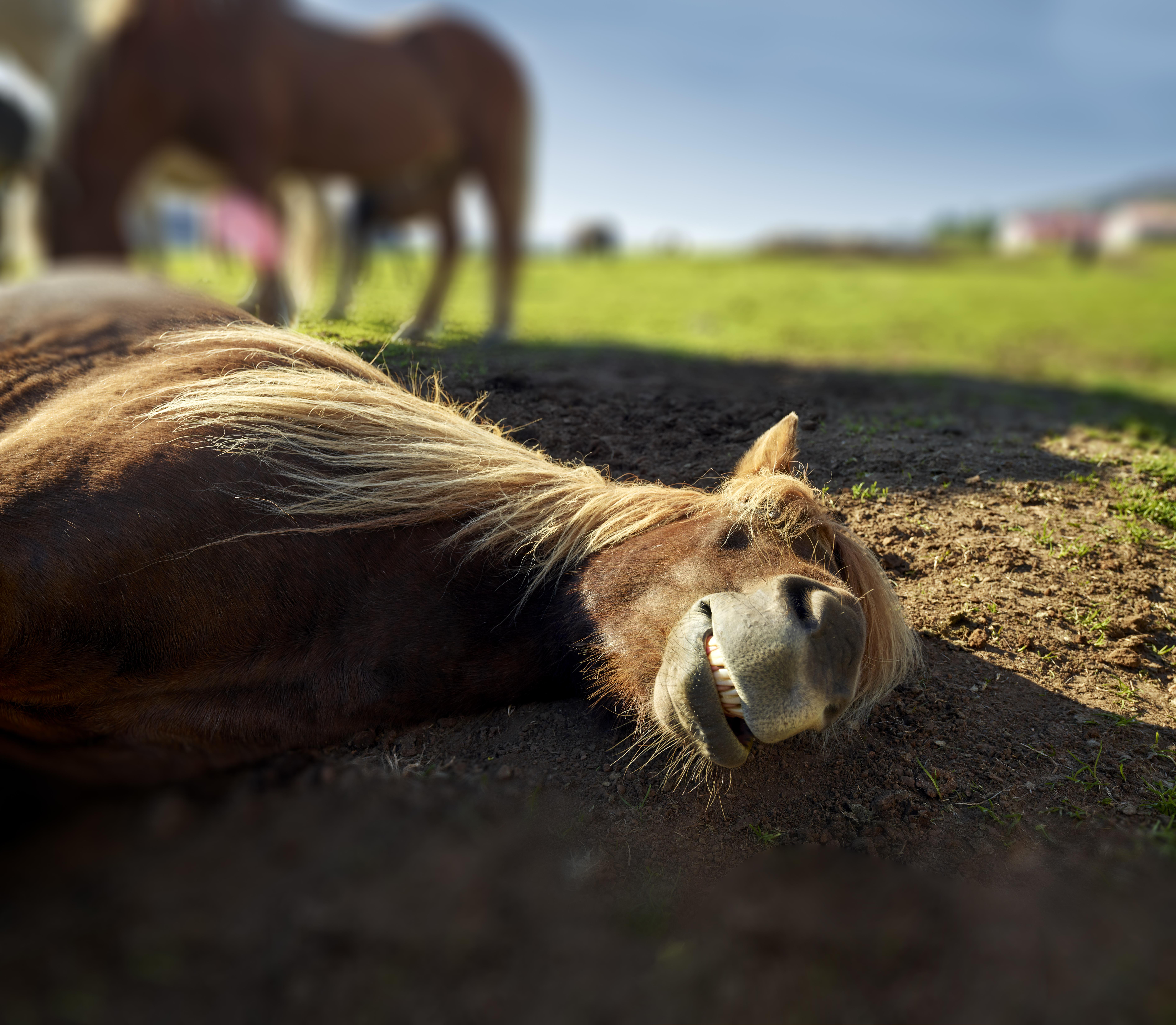Icelandic Horse lying down