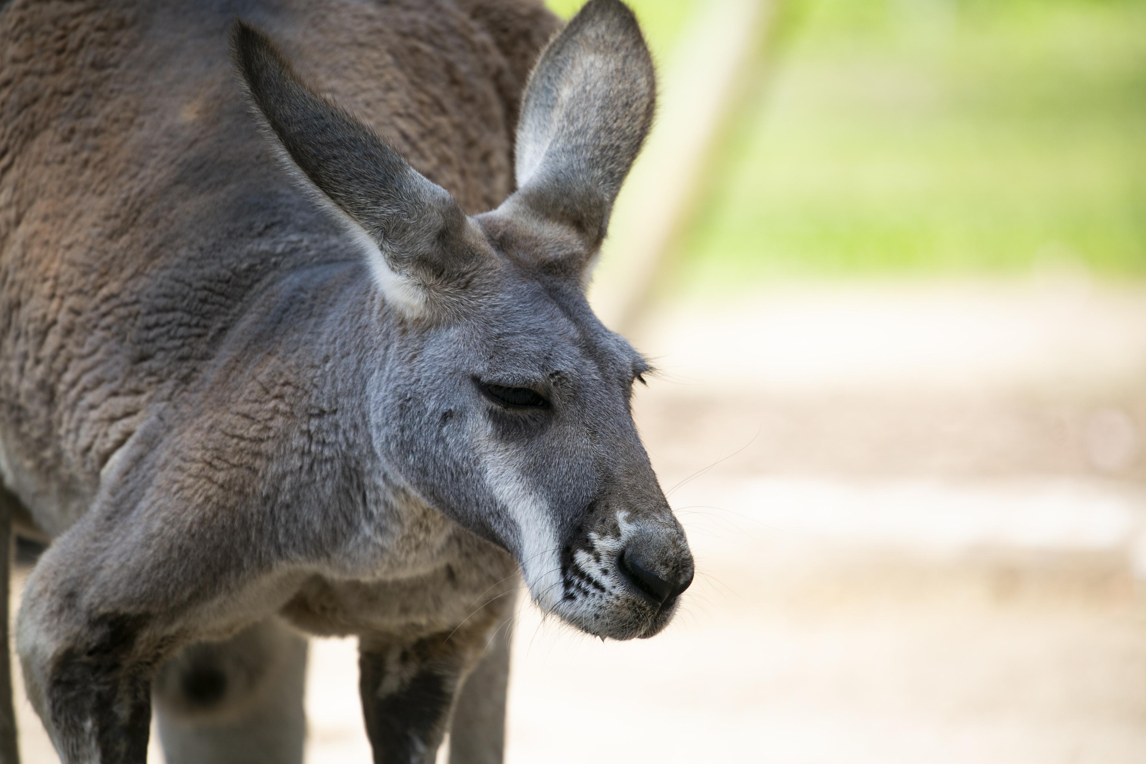 Lazy Kangaroo, Eastern Grey Kangaroo (Macropus giganteus) Tidbinbilla Nature Reserve, Australian Capital Territory, Australia