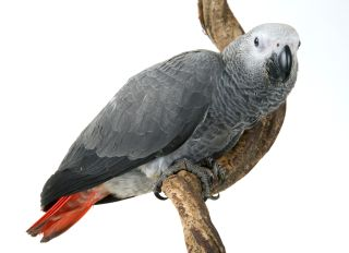 Congo African grey parrot, Psittacus erithacus erithacus