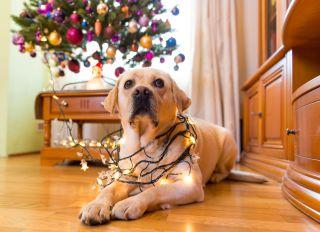 Labrador dog sitting near Christmas tree