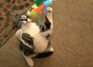 Playful pet cat (Felis catus)