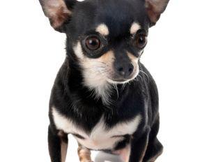Close-Up Of Black Dog Over White Background
