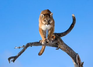 Mountain lion is standing on deadwood and looking camera angrily