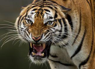 Close-Up Portrait Of Tiger Roaring