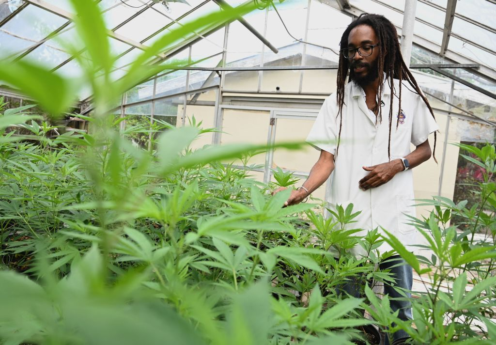 JAMAICA-HORTICULTURE-ORGANIC-PLANTS-CANNABIS-DRUGS