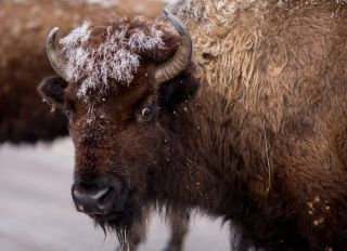 American Bison Grazing in the Winter.