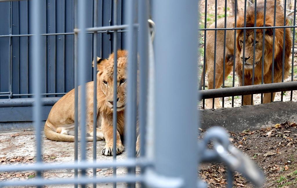 Liger arrives at Primorye Safari Park in Russia's Far East