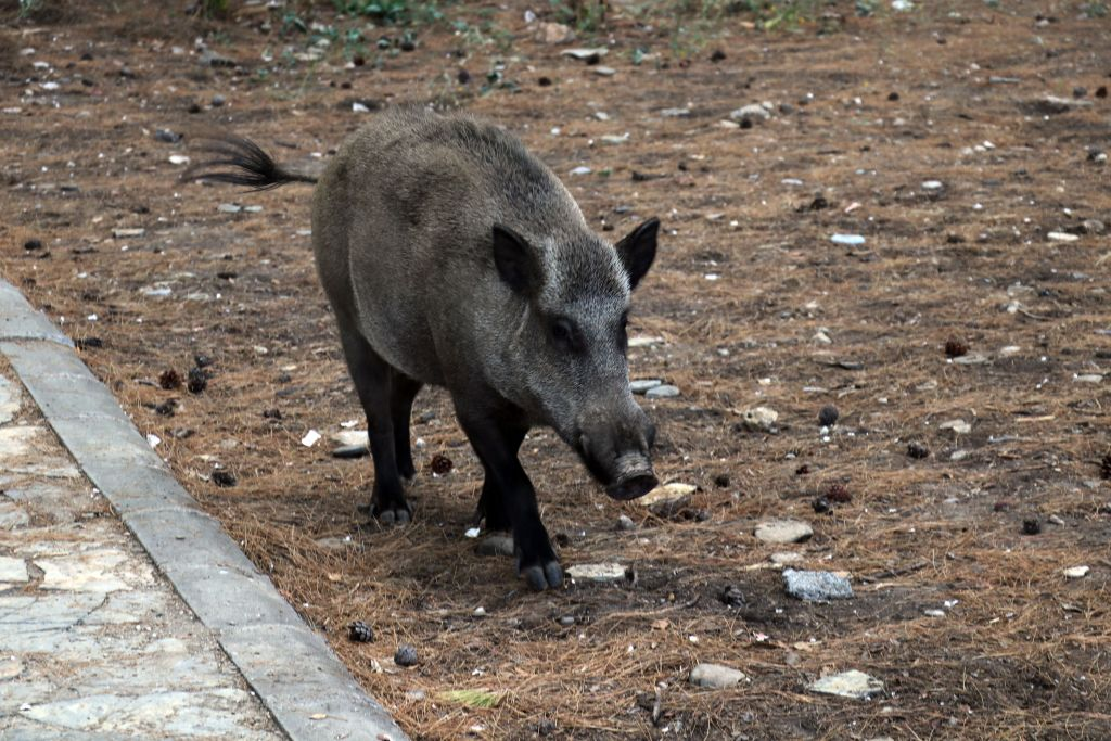 Domestic pigs of a national park in Turkey's Aydin