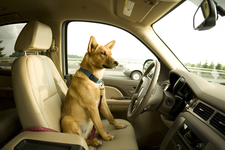 Dog sitting in driver?s seat