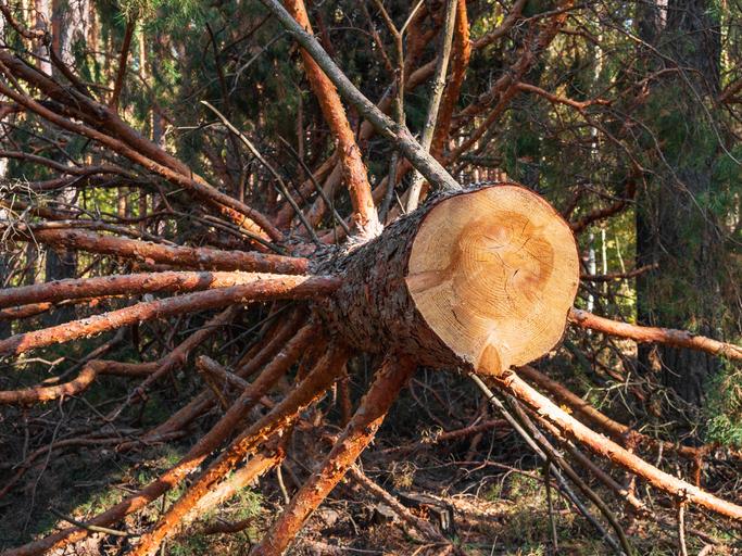 Huge felled pine