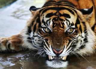 Two Sumatran Tigers Released Back Into The Wild