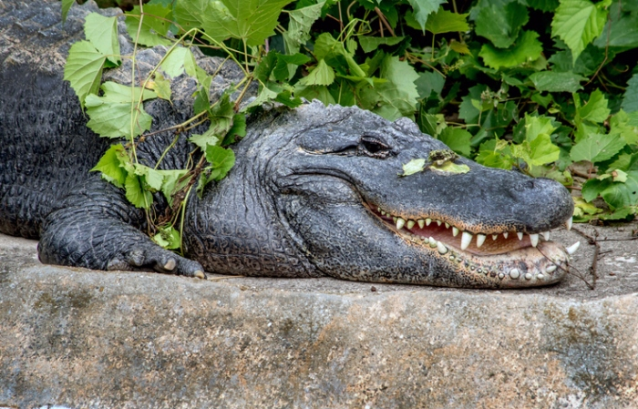A North American Alligator Suns Himself On A Rocky Ledge, With A Happy Smile On His Toothy Mouth