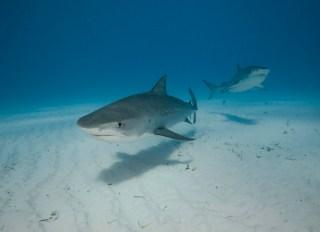 Multiple Tiger Sharks Swim over the sand