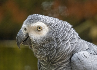 Close-Up Portrait Head Shot Of African Grey Parrot