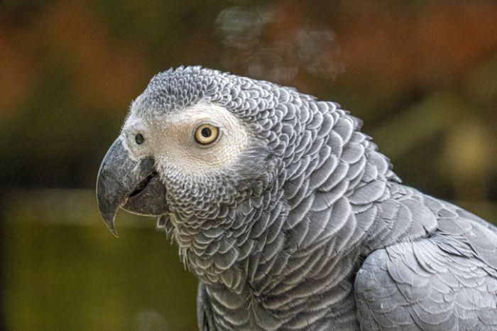 Close-Up Portrait Head Shot Of African Grey Parrot