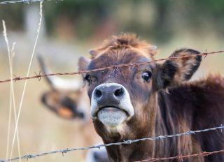Faune - vache domestique et veau