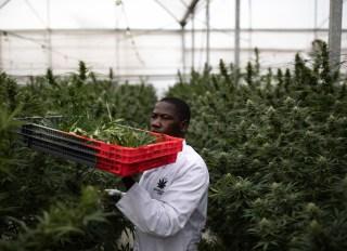 Weed being harvested