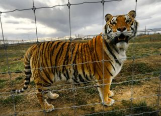 Tigers rescued from Joe Exotic aka The Tiger King Joe