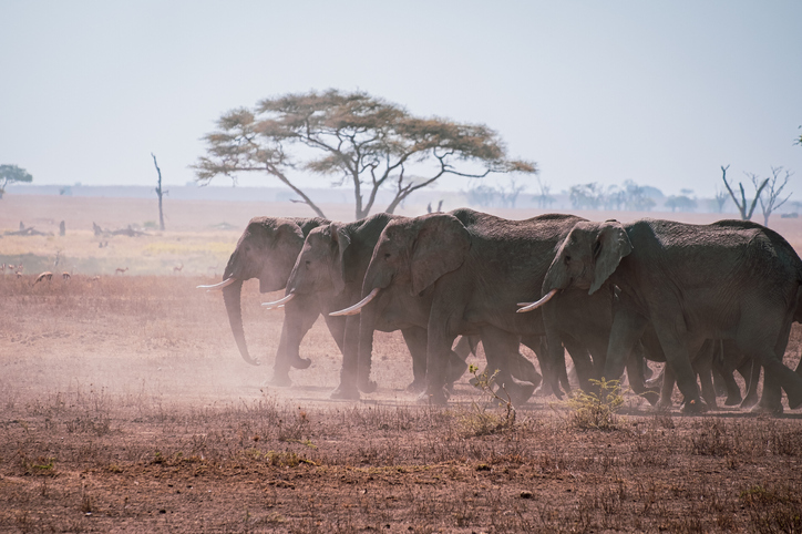 A Herd On Elephants On The Move In The Grasslands Of The Serengeti, Tanzania