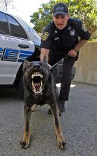 (050807 Scituate, MA) Scituate Police Officer, Brian McLaughlin of the K-9 Unit and his dog Felix. Felix shows off his aggressiveness Tuesday, May 08, 2007. Staff photo by Matt Stone
